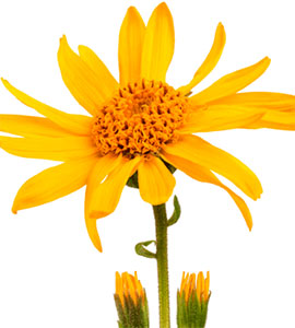 arnica treatment for psoriasis